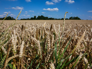 Ripe wheat field just before the harvest in front of blue sky