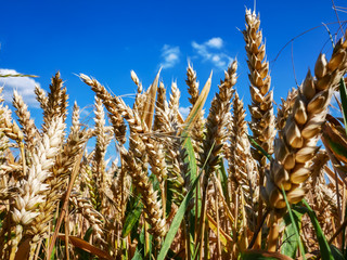 Close up view over a ripe wheat field just before the harvest in front of blue sky