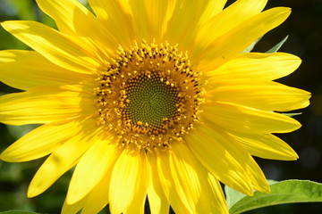 Sunflower / Background material