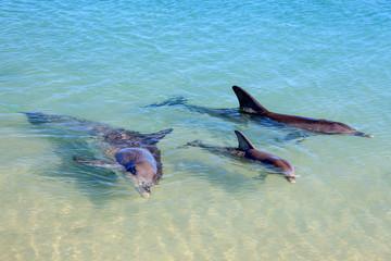 Dolphins in Monkey Mia, Western Australia