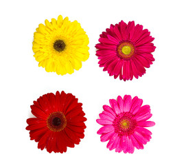 various  gerbera isolated