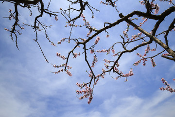 Peach blossoms bloom in the blue sky