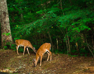Two Deer Eating Together in Blue Ridge, Georgia