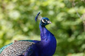 wild Peacock bird