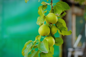 Fresh and juice little pears on green branches in a summer garden harvest. Fruit background.