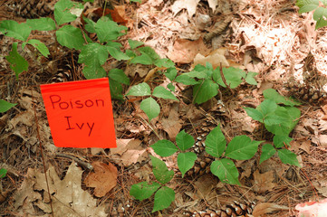 poison ivy on the ground with warning flag
