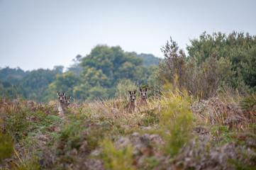 Four kangaroo partially hidden in the Australian bushland, all looking towards the camera, Victoria Australia