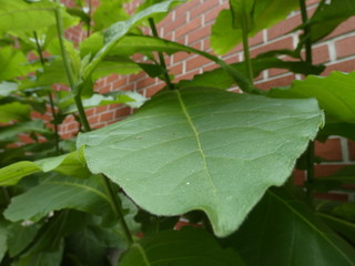 Large Leaf Along Brick Wall of a house
