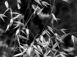 Wheat Leaves - Black & White Macro