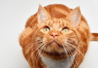 Gorgeous red ginger tabby cat sitting on all fours looking up