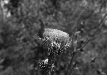 Spear Thistle Flower Blossoming - Black & White Macro