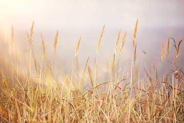 autumnal background beach  / dry yellow grass by the sea, landscape background with islands in the sea