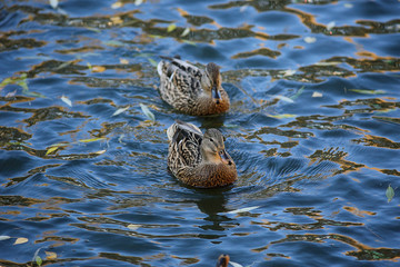 water ducks wild nature animal