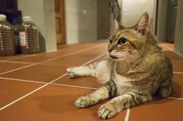 lazy tabby cat