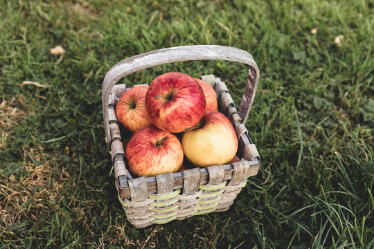 A straw basket full of apples lays on the grass