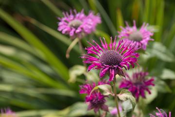 Pink Flower heads