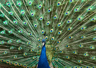 Portrait of a peacock.