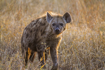Foto op Canvas Hyena Spotted hyaena in Kruger National park, South Africa ; Specie Crocuta crocuta family of Hyaenidae