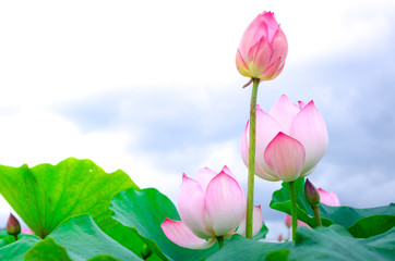 Garden Poster Lotus flower Pink lotus flower. The background is the lotus leaf and white lotus flower and lotus bud in a pond. Beautiful sunlight and sunshine in the morning