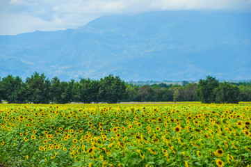 Sunflowers plantation with mountain background at thailand