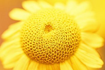 Beautiful natural yellow chamomile in macro. Top view