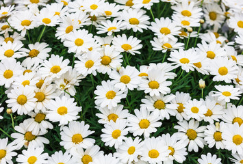 Daisy flower background.
