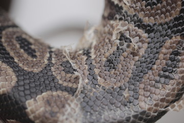 animal detail - close up macro photography of a python snake skin sheds, outdoors in Africa with natural sunlight