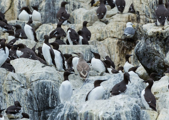 Guillemots, sea birds, on rocks at the Farne Islands, Northumberland, England. UK.