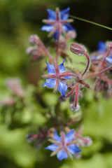 Borage blossom in macro view