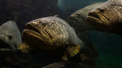 The Giant grouper fish in the andaman sea.