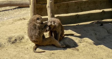 baboons checking the head