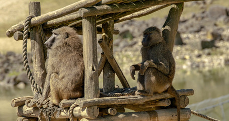 Babboons at home