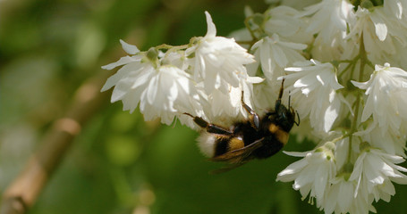 bumblebees_on_flowers 1D
