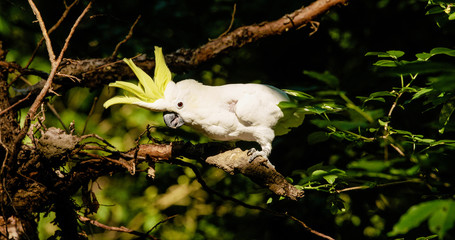 cockatoo parrot in the forest