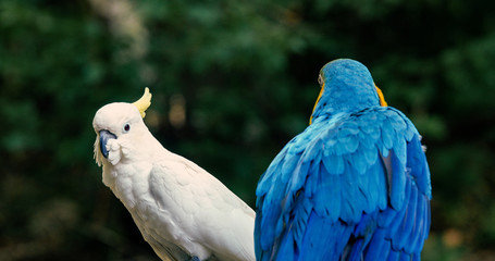 macaw and cockatoo in the forest