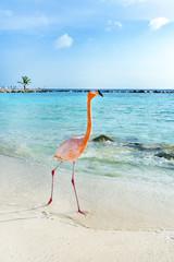 Pink flamingo walking on the beach, Aruba island