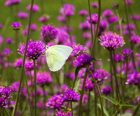 Butterfly purple flower background
