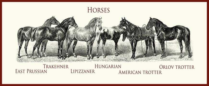 vintage equestrian illustration, horse purebred portraits:Trakehner, East Prussian,Lipizzaner,Hungarian,American trotter,Orlov trotter,