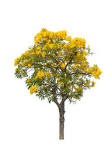 Tabebuya or Caribbien Trumpet tree with yellow flower on white background