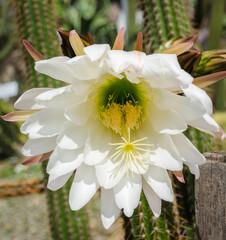 Echinopsis spachiana, Golden Torch, Golden Column or White Torch Cactus in Full Flower