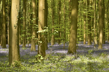 Les jeunes hêtres de la forêt de Hallerbos au printemps avec un tapis violet de jacinthes entre ombres et lumière