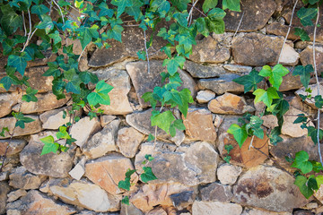 Green vines on an old stone wall