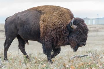 Canvas Prints Bison American Bison Bull - Genetically Pure Specimen