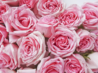 A lot of pink roses on a white background. Pink flower buds