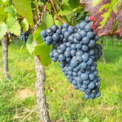 Weintrauben am Rebstock im Herbst