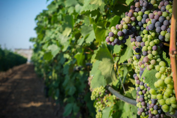 Horizontal View of Close Up of Not Fully Mature Grapes in Plantation Grape in Summer on Blur Background at Sunrise.