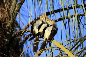 Three Guira Cuckoos (Guira guira) Sitting on a Branch. Porto Jofre, Pantanal