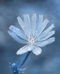 Chicory wild blue flower