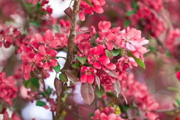 Blühender Zierapfel im Frühling