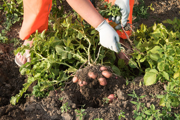 Young woman farmer in orange work clothes digs potatoes for food. First crop of pink young potatoes collected in the garden. Concept of ecological nutrition, biological, vegetarian style